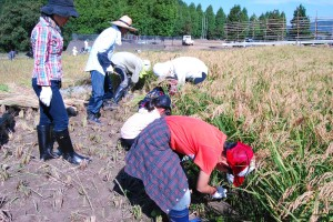 稲刈り作業体験 1